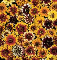 Persian Carpet Zinnia