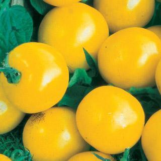 Golden Gem Hybrid Tomato Plant