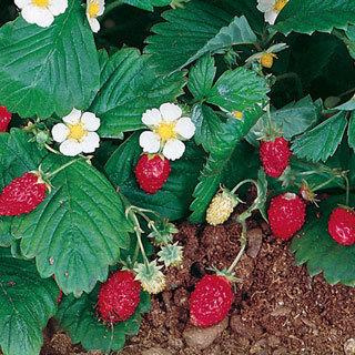 Mara Des Bois Alpine Strawberry Plant