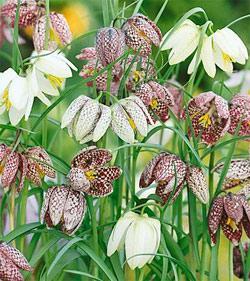 SOLD OUT Mixed Checkered Lily Fritillaria - 10 bulbs