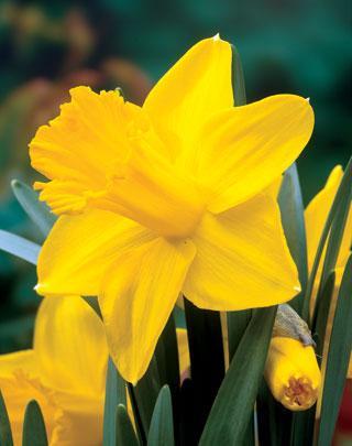 King Alfred Improved Daffodil Bulb