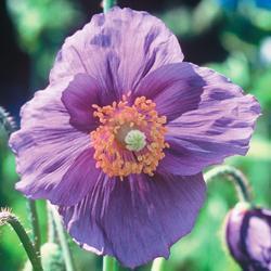 Meconopsis b. 'Hensol Violet'