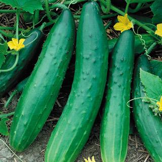 Cucumber Garden Sweet Burpless