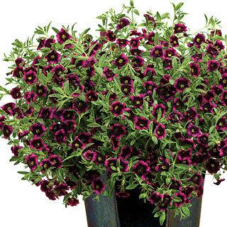 Calibrachoa Superbells® Blackberry Punch