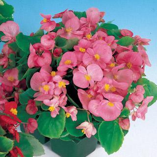 Begonia Pizzazz Pink Hybrid