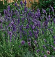Ellagance Purple