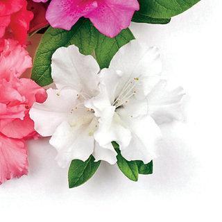 Bloom-a-Thon® White Azalea Shrub