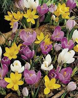 SOLD OUT Mixed Species Crocus - 10 bulbs