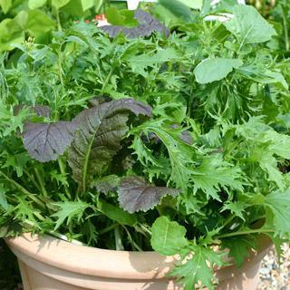 Lettuce Salad Leaf Stir Fry Mix