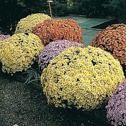 Chrysanthemum indicum 'Charm Early Fashion Mixed' F1 Hybrid