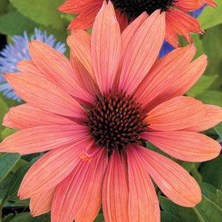 Sundown Echinacea Coneflower Plant
