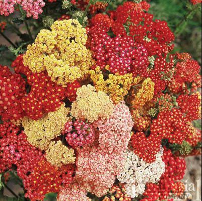 Yarrow-Summer Berries