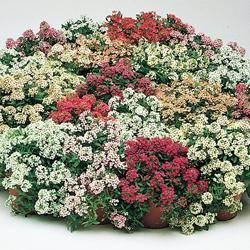 Alyssum m. p. 'Aphrodite Improved Mixed'