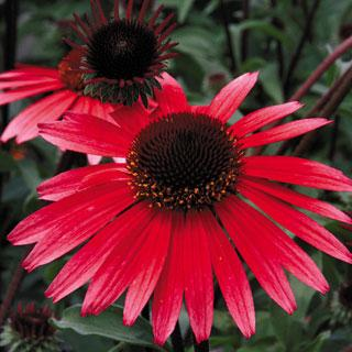 Solar Flare Echinacea Coneflower Plant