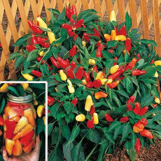 Pepper Sweet Pickle Organic
