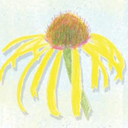 Echinacea Paradoxa or Ozark Yellow Coneflower