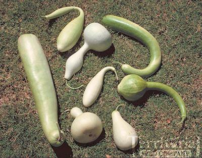 Ornamental Gourds Mix-Large