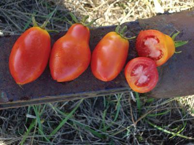 Nova Tomato Organic