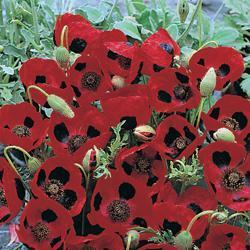 Poppy commutatum 'Ladybird'