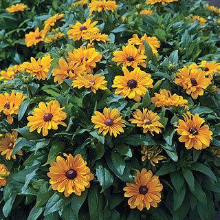 TIGEREYE™ Tiger Eye Gold Rudbeckia Gloriosa Daisy Plant