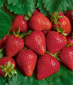 Chandler Junebearer Strawberry Plants - 10 root divisions