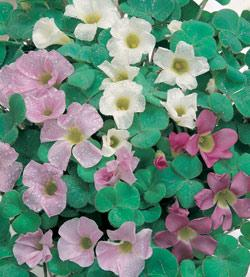SOLD OUT Mixed Oxalis - 25 bulbs