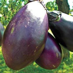 Eggplant Czech Early