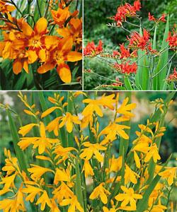 SOLD OUT Crocosmia Collection - 15 bulbs