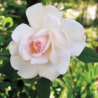 Clouds of Glory White and Pink Hybrid Tea Rose