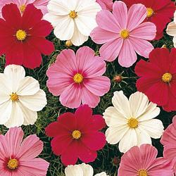 Cosmos b. 'Sonata Mixed'