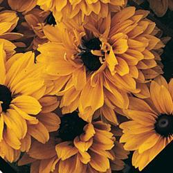 Rudbeckia h. 'Goldilocks'