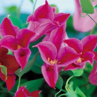 Princess Diana Clematis texensis Clematis Plant