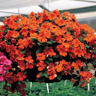 Impatiens Accent Salmon Hybrid