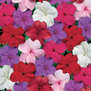 Impatiens Tempo Crystal Hybrid Mix