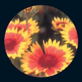 Gaillardia Indian Blanket  - Wildflower