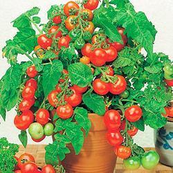 Tomato Vilma