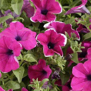 Petunia Surfinia® Purple Picotee PPAF