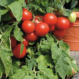 Tomato Totem Hybrid