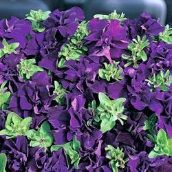 Petunia grandiflora 'Double Cascade Blue' F1 Hybrid