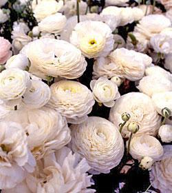 White Tecolote® Ranunculus - 10 bulbs