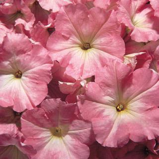 Petunia Celebrity Chiffon Morn Hybrid