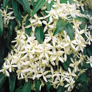 Snowdrift Clematis armandii Clematis Plant