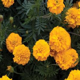 Gypsy Sunshine - Marigold, French