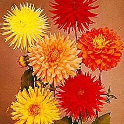 Dahlia v. 'Giant Hybrids Mixed'