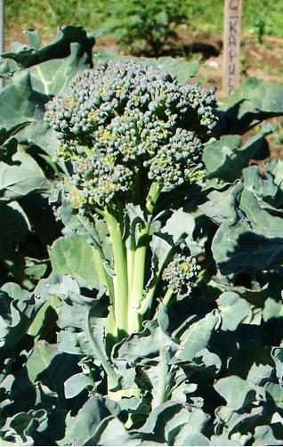 Broccoli, Solstice