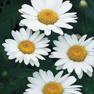 Becky Leucanthemum superburn Shasta Daisy Plant