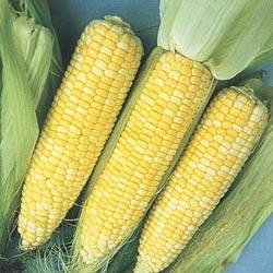 Sugar Baby (se) Hybrid Sweet Corn