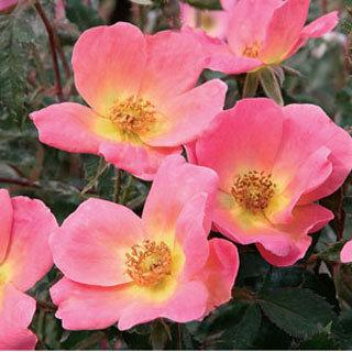Rose Rainbow  Knock Out®  Shrub