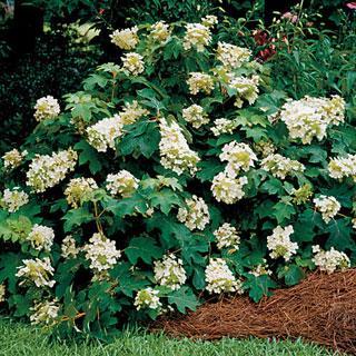 Sikes Dwarf Hydrangea quercifolia Oakleaf Hydrangea Shrub