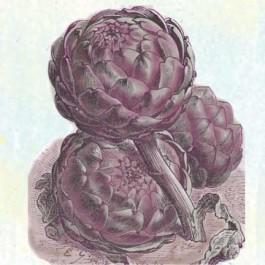 Violetta Precoce Artichoke